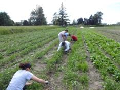 weeding potatoes
